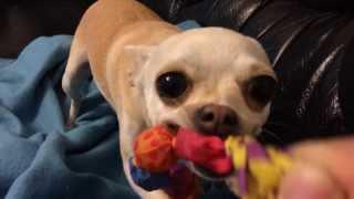Mad Chihuahua