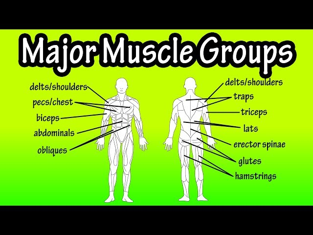 Major Muscle Groups Of The Human Body