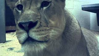 Lioness Cam - Badu Up Close