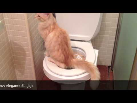 Como enseñar a tu gato a ir al baño