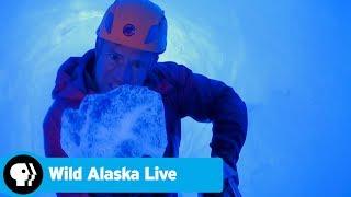 WILD ALASKA LIVE | Climbing Inside a Glacier | PBS