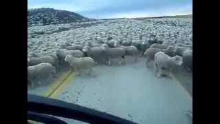 Biggest flock of sheep in the World !!