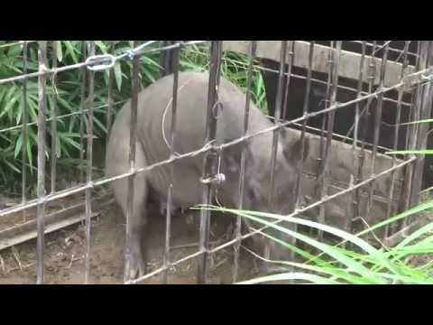 [閲覧注意]檻罠にかかって暴れるイノシシ Boar in cage trap