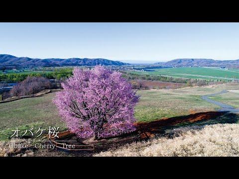 [4K]北海道浦河町の春の絶景 オバケ桜の4K映像