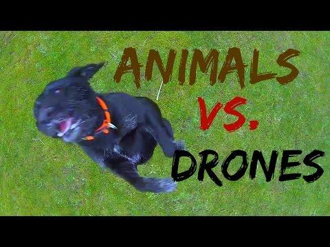 Drone Videos – Animal vs  Drones
