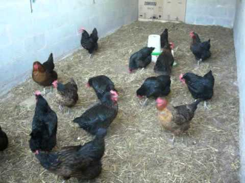 Barnyard Chicken Chorus