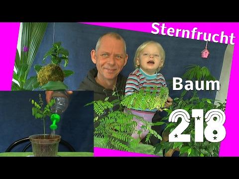 Vom Samen zur Pflanze, die Sternfrucht Averroha Carambola