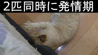【可愛い】家猫のメスのドコモとみーちゃん、2匹同時に発情期が来たらどう対処すればいいのか…落ち着いて対処する