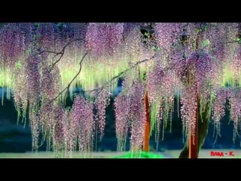 Японская музыка  -Глициния