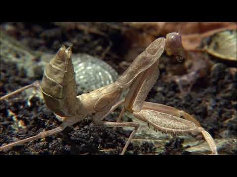 Insecto Alienigena - La Mantis Religiosa - HD