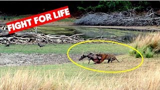 Tiger Kills Deer Ranthambore India