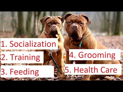 Pit bull (American Pitbull Terrier) - How to Care Tips & Advice
