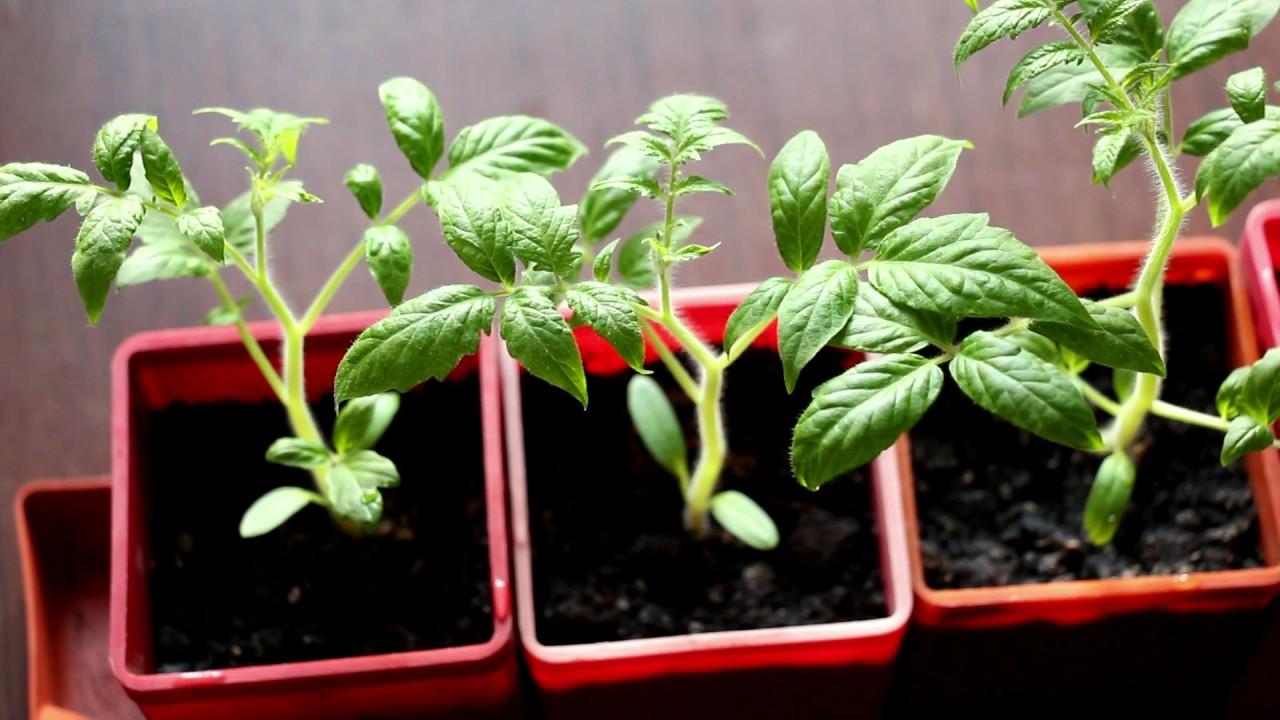 Перестала расти рассада помидор 70