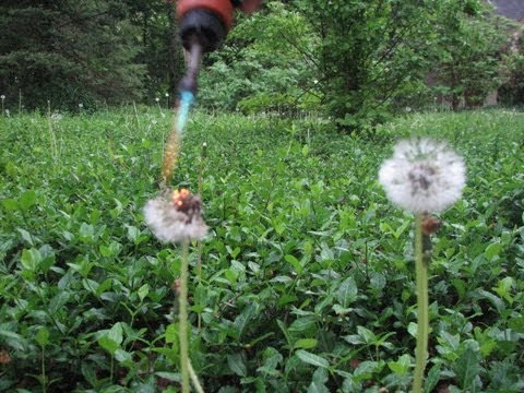 Most effective dandelion removal and weeds killer with torch - Flame weeding