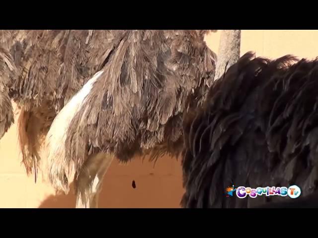 ¿Sabías que el avestruz es el ave más grande y de mayor peso del mundo?