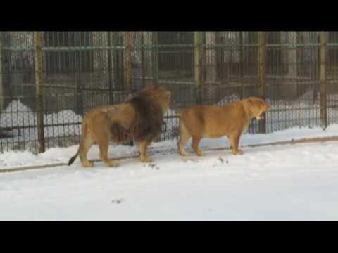 Harbin, China - Siberian Tiger Park - Lions.avi