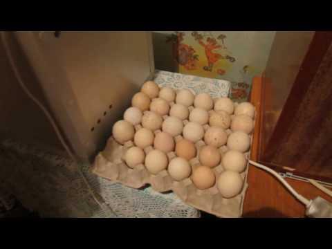 Инкубация индеек, цесарок и куриных яиц  Часть 1