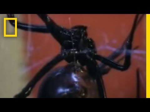 Black Widow Sex Video