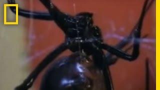 Black Widow Sex | National Geographic