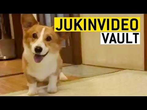 Corgi Dog Videos from the JukinVideo Vault