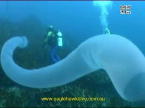 Giant Pyrosome And Salps - Pelagic Sea Squirts video