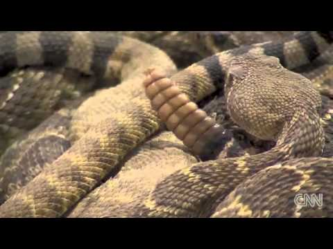 !!WORLD'S LARGEST RATTLESNAKE ROUNDUP!!
