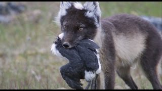 Fox Feasts on Baby Guillemots | Nature's Great Events | BBC