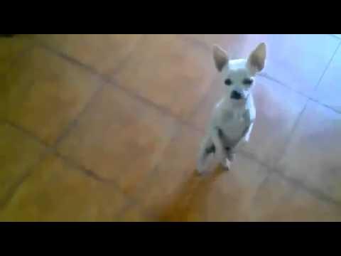 Чихуахуа танцует фламенко - Flamenco dancing Chihuahua