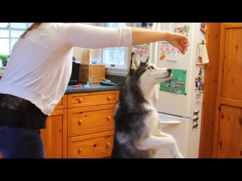Training Time! Mishka the Talking Husky Does The Twist!