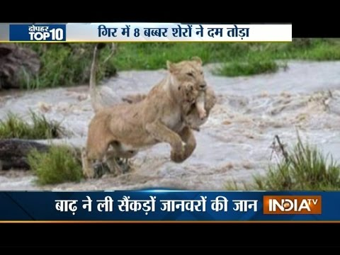 8 Lions Found Dead in Gujarat After Heavy Rain Leads to Flooding | India  Tv