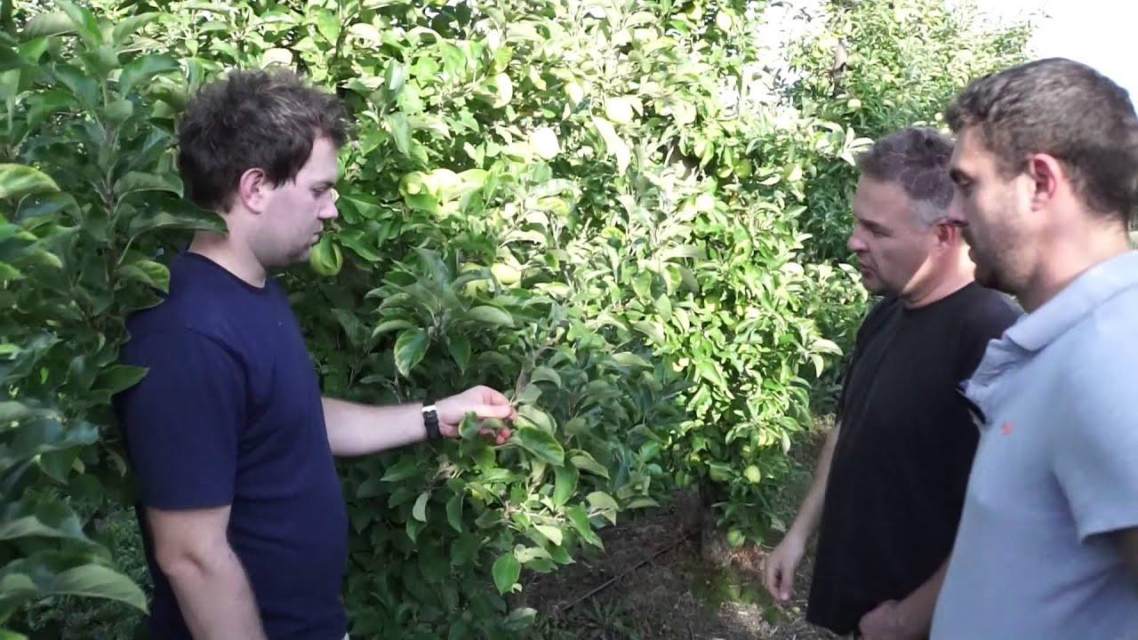 forum sadownicze, uprawa jabłek, mszyce, pękanie owoców