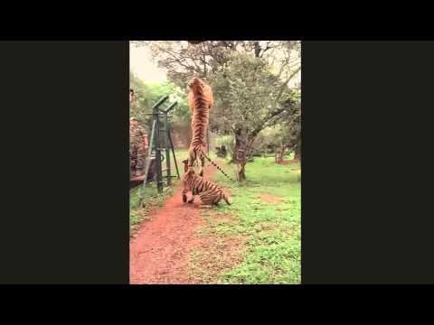 O maior Salto de um Leão