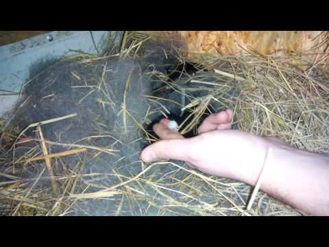 Кролики с рождения и до 3-х недель