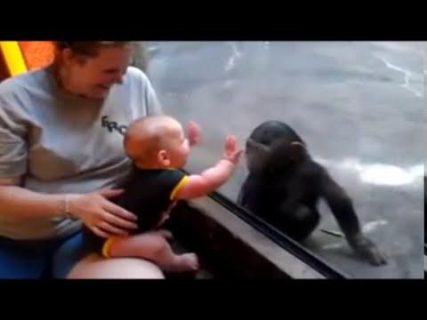 Un chimpancé y un bebé se hacen amigos en el zoo