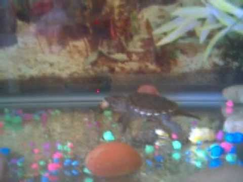 baby snapping turtle eats my Platy!!!!