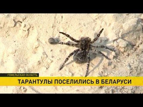 Откуда на Гомельщине взялись пауки-тарантулы?