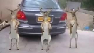 حيوانات ترقص على إيقاع عبدالفتاح لجريني