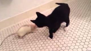 Rat plays with kitten