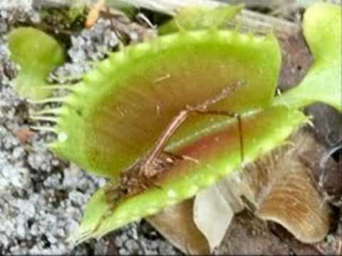 Amazon Rainforest Venus Fly Trap Naea 39 s Venus Fly Trap
