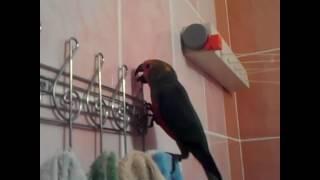 parrot aratinga jandaya
