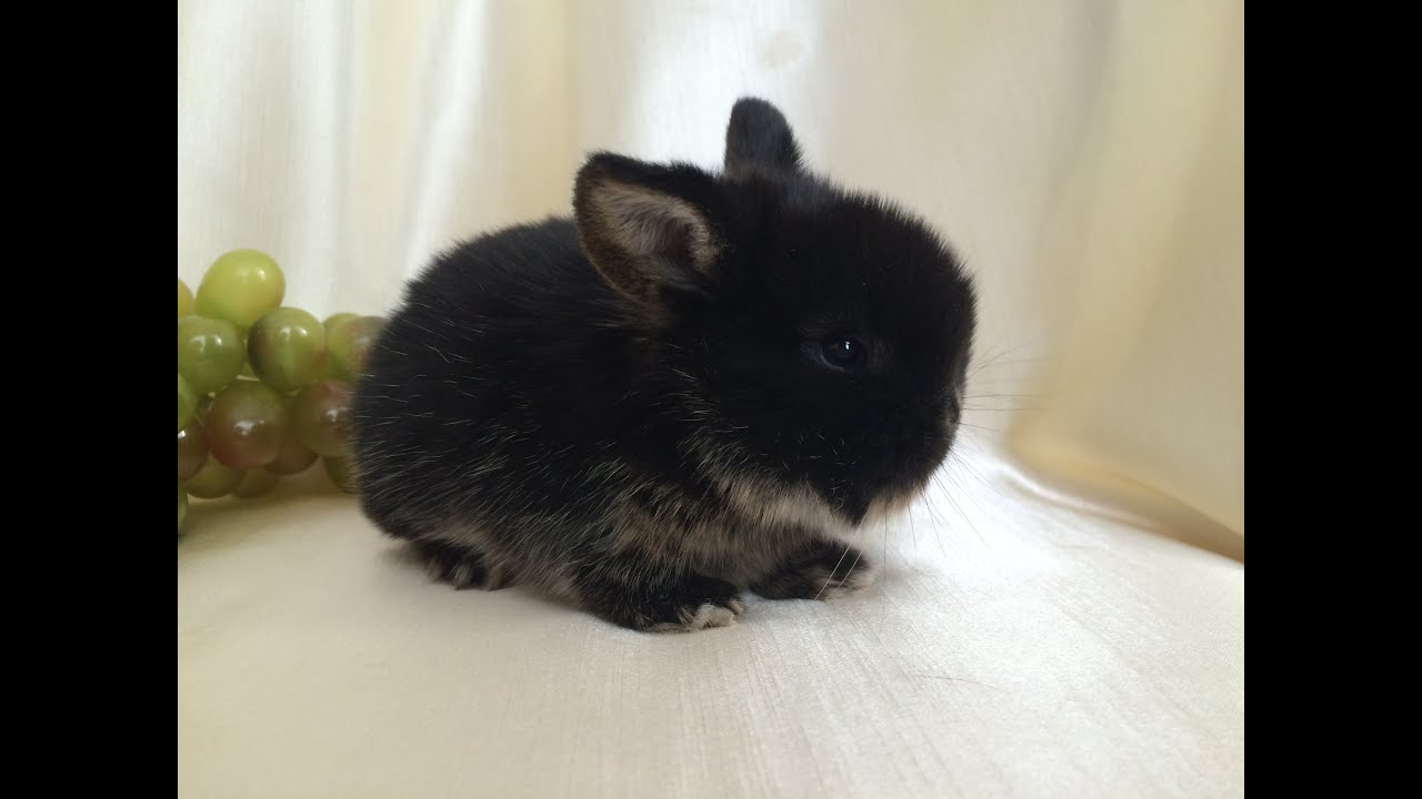Кролики вислоухие декоративные уход в домашних условиях