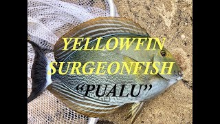 "How To Hook, Clean & Cook Pualu ""Yellowfin Surgeonfish"" !"