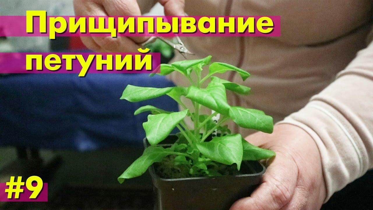 Как прищипнуть рассаду петунии 52