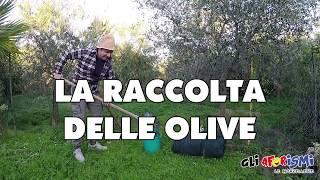 Gli Aforismi - La raccolta delle olive in calabria