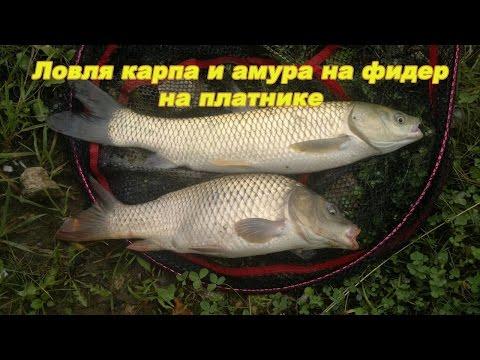 lovlya-belogo-amura-na-fider-video