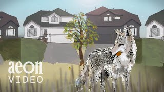 Living With Coyote: North America's man-made coyote dilemma