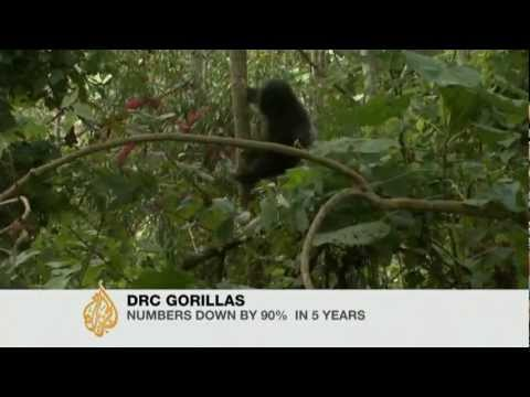 Congo Basin Gorillas facing extinction