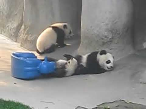 So Cute! Baby Panda Playing (1)