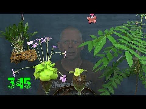 Pflanzen Düngen im Experiment. Sonnentau und Chili. Wüstenrosen Sämlinge umpflanzen