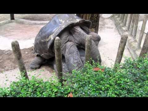 Giant Tortoises Having Sex